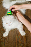Combing white fluffy angora cat Furminator. S Stock Image