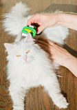 Combing white fluffy angora cat Furminator. S Stock Photo