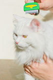Combing white fluffy angora cat Furminator. S Stock Photos