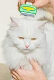 Combing white fluffy angora cat Furminator. S royalty free stock photos