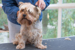 Combing Yorkshire terrier dog. Horizontally. Royalty Free Stock Photography