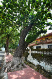 Combretaceae huge tree with old houses in Con Dao island, Vung tau, Vietnam Royalty Free Stock Image