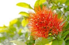 Combretum erythrophyllum Royaltyfri Fotografi