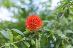 Combretum erythrophyllum Burchell Sonder Blommaträdet framsidan av blomman är mycket rambutanen Röda fjädrar är pollenet av arkivfoto