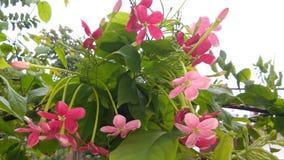 Combretum indicum eller kineskaprifol eller Rangoon rankaorMadhumalti Royaltyfria Foton