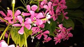Combretum indicum eller kineskaprifol eller Rangoon rankaorMadhumalti Royaltyfri Foto