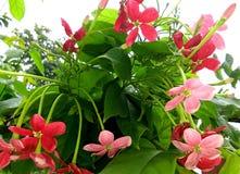 Combretum indicum eller kineskaprifol eller Rangoon rankaorMadhumalti Royaltyfri Fotografi