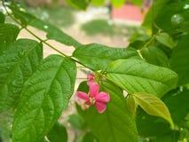 Combretum indicum eller kineskaprifol eller Rangoon rankaorMadhumalti Fotografering för Bildbyråer