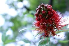 Combretums-erythrophyllum Bush-Weide, rote Blumen Stockfoto
