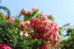 Combretums-indicum, chinesisches Geißblatt oder Rangun-Kriechpflanze beauti Stockfoto