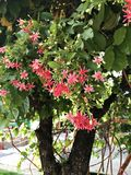 Combretums-indicum oder chinesisches Geißblatt oder Rangun-Kriechpflanze blüht stockbilder