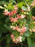 Combretums-indicum quisqalis Indica Blume Lizenzfreies Stockbild