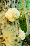 Combs Tooth Fungi Royalty Free Stock Image