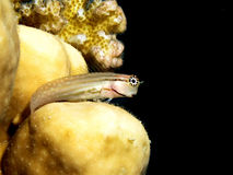Combtooth blenny Royalty Free Stock Images