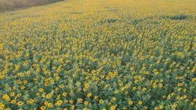 Comcept da agricultura Campo aéreo do tiro dos girassóis no verão filme