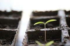 Começar da semente Foto de Stock