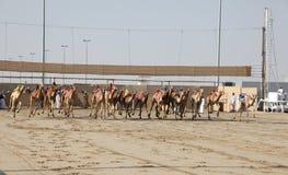 Começo da raça do camelo em Doha Qatar foto de stock