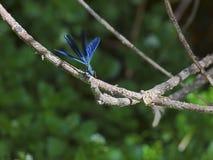 Começo de voo da libélula Fotos de Stock Royalty Free
