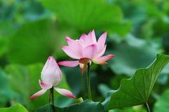 Começo do ¼ do ï da flor Imagem de Stock Royalty Free