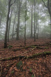 Começo enevoado do outono na floresta Imagens de Stock Royalty Free
