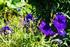 Começo estrelado do céu da flor do petúnia da florescência foto de stock royalty free