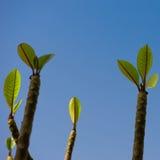 Começos novos das folhas novas emergentes de uma planta Fotografia de Stock
