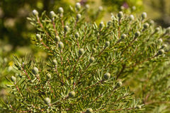 Come bush Leucadendron Royalty Free Stock Photography