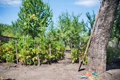 Come coltivare i cespugli del pomodoro nel giardino Pomodori nel giardino, facente il giardinaggio Immagini Stock