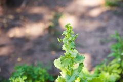 Come coltivare le foglie della lattuga di estate Piantine di lattuga, orticoltura, coltivante Fondo floreale strutturale naturale Immagini Stock Libere da Diritti