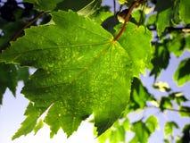 Come le foglie girano Immagini Stock Libere da Diritti