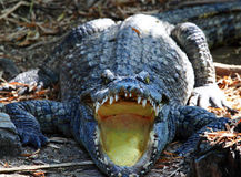 Crocodile with open mouth Stock Photography