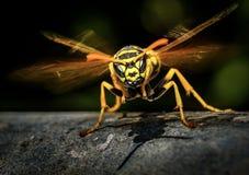Come macchiare una vespa arrabbiata? immagine stock libera da diritti