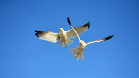We Come In Peace. Two seagulls looking as if they just landed from the sky Royalty Free Stock Photo