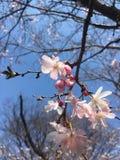 Come Sakura Blooms immagine stock