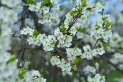 Come spring. Cherry and flowers, spring has come. I`m happy Royalty Free Stock Photography