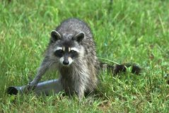 Come and Take It Raccoon royalty free stock images
