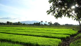 Comece o arroz plantar a estação video estoque