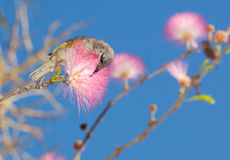 Comedor amarelo do mel na árvore cor-de-rosa da acácia Fotos de Stock Royalty Free
