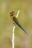 Comedor de abeja atado azul Fotos de archivo