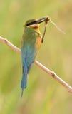 Comedor de abeja atado azul Foto de archivo libre de regalías