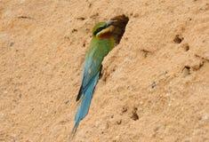Comedor de abeja atado azul Imagen de archivo libre de regalías