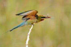 Comedor de abeja atado azul Foto de archivo