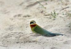 Comedor de abeja atado azul en la arena Fotografía de archivo libre de regalías