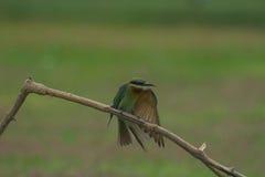 Comedor de abeja atado azul hermoso del pájaro Imagenes de archivo