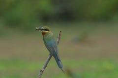 Comedor de abeja atado azul hermoso del pájaro Foto de archivo libre de regalías