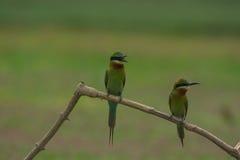 Comedor de abeja atado azul hermoso del pájaro Fotografía de archivo libre de regalías