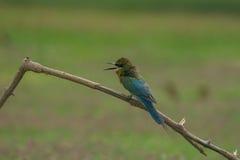 Comedor de abeja atado azul hermoso del pájaro Imagen de archivo