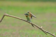 Comedor de abeja atado azul hermoso del pájaro Fotos de archivo libres de regalías