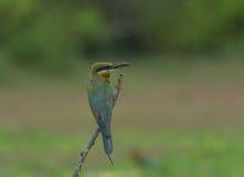 Comedor de abeja atado azul hermoso del pájaro Fotografía de archivo