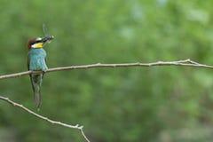 Comedor de abeja en el árbol aislado en verde Fotos de archivo
